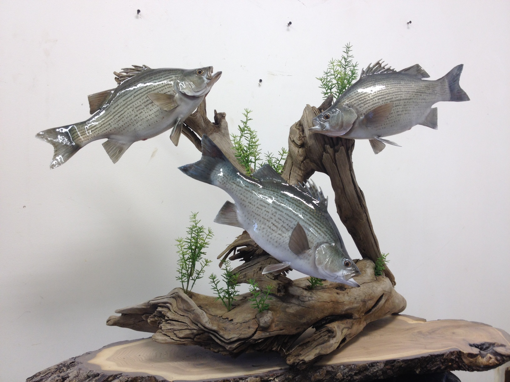 3 white bass on table top driftwood