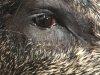 Boar Eye Detail