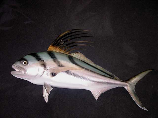 Roosterfish-Photo1